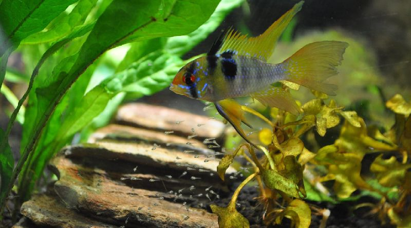 german blue ram