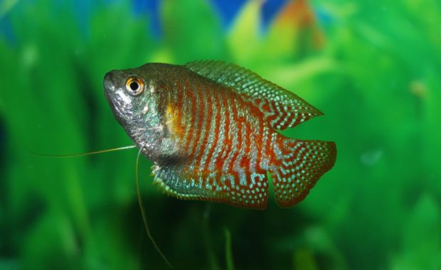 13 Compatible Gourami Tank Mates (Complete Guide)