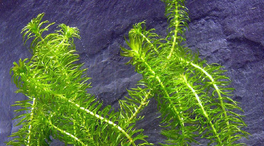hornwort pond plant