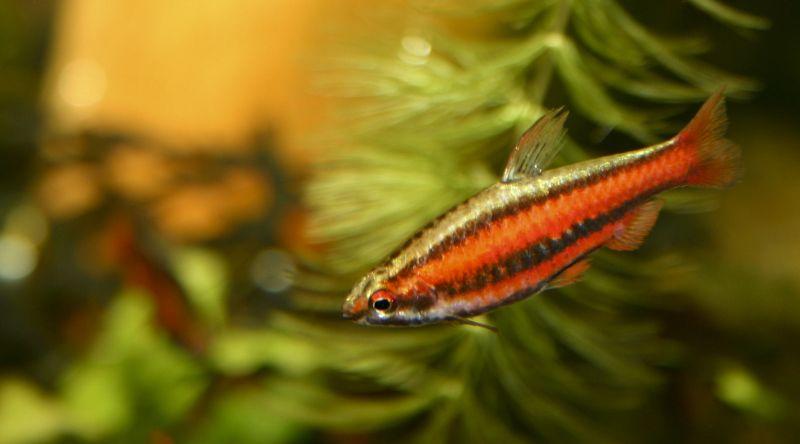 Pencilfish