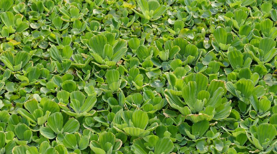 Pond Plants 13 Popular Types How To Keep Them Complete Guide