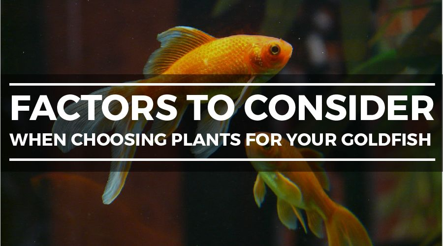 10 Easy Plants for Goldfish Tanks - The Complete Guide to
