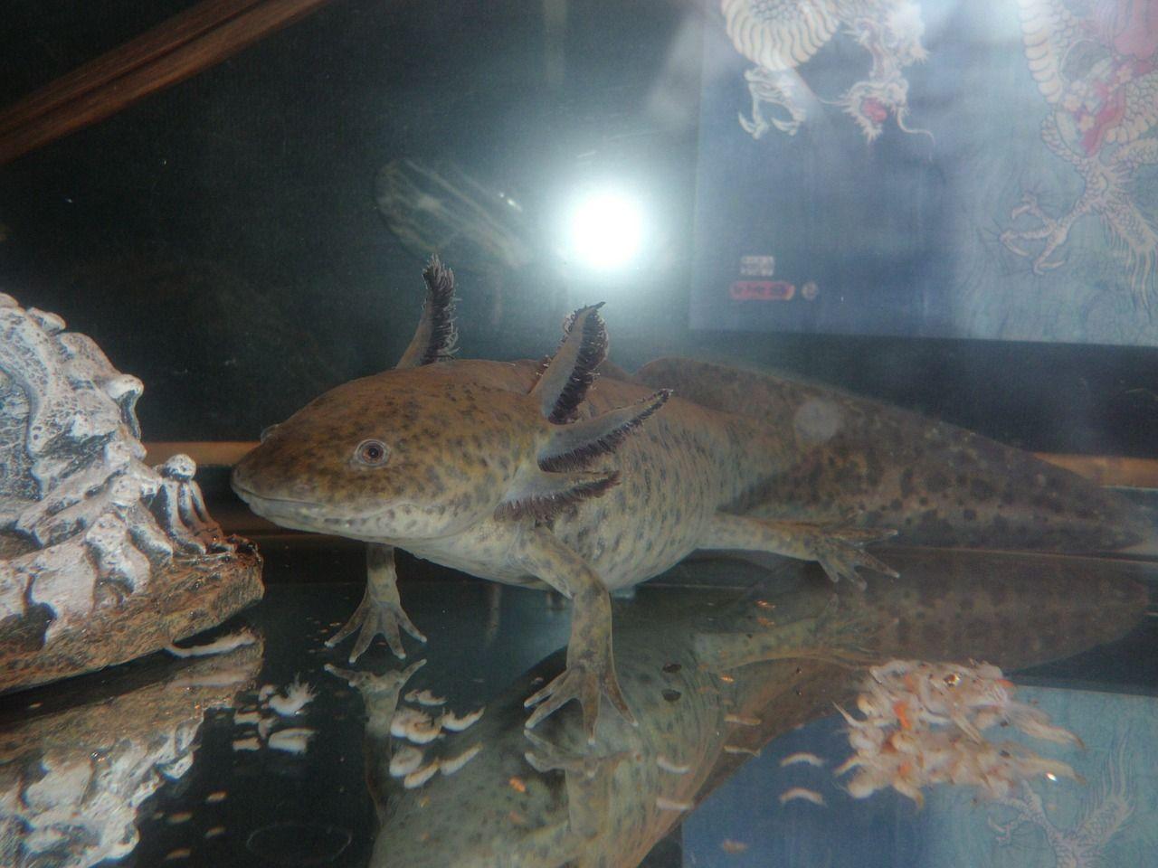 axolotl diet
