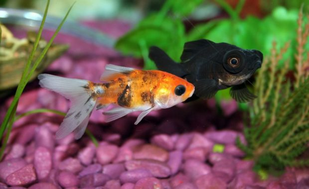 10 Easy Plants for Goldfish Tanks – The Complete Guide to Goldfish Plants