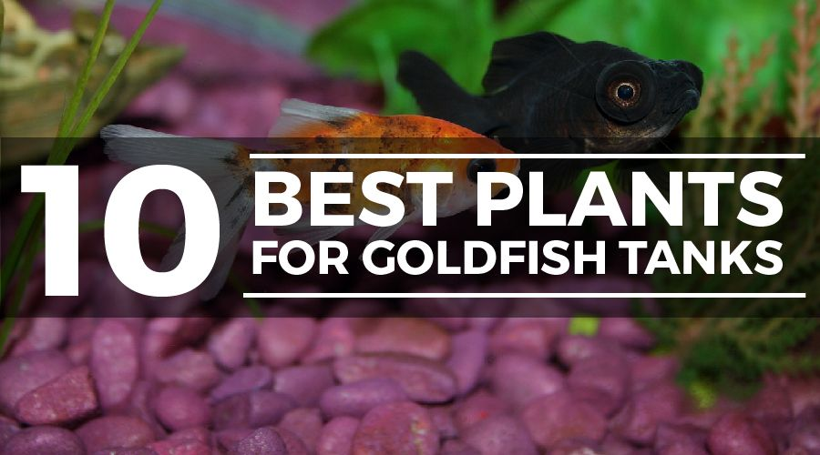 plants for goldfish