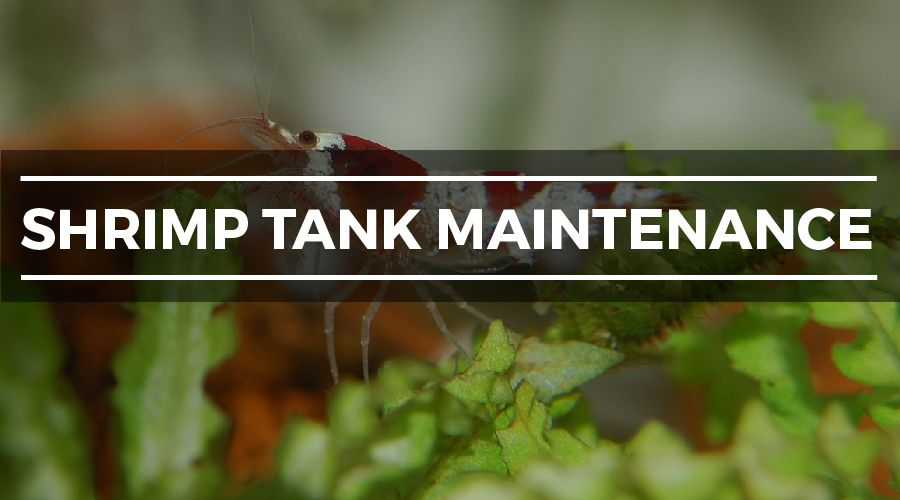 shrimp tank maintenance