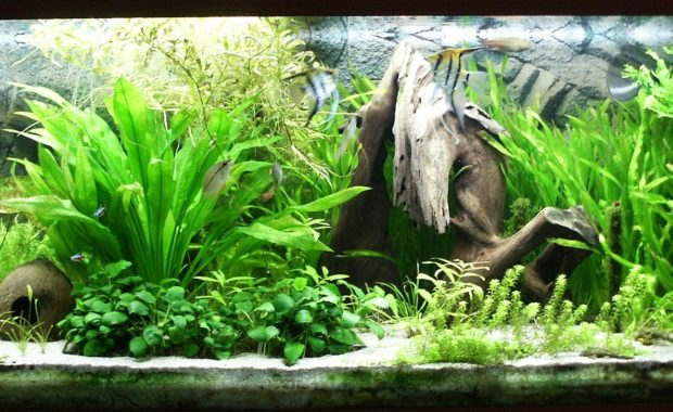 Java Fern (Microsorum pteropus): The Complete Care Guide
