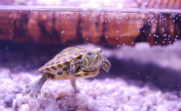 How to Set up the Perfect Turtle Tank: The Complete Step-By-Step Guide