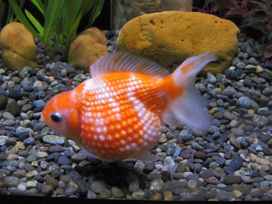 15 Awesome Types of Goldfish (With Pictures): Goldfish