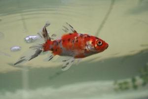 shubunkinv goldfish