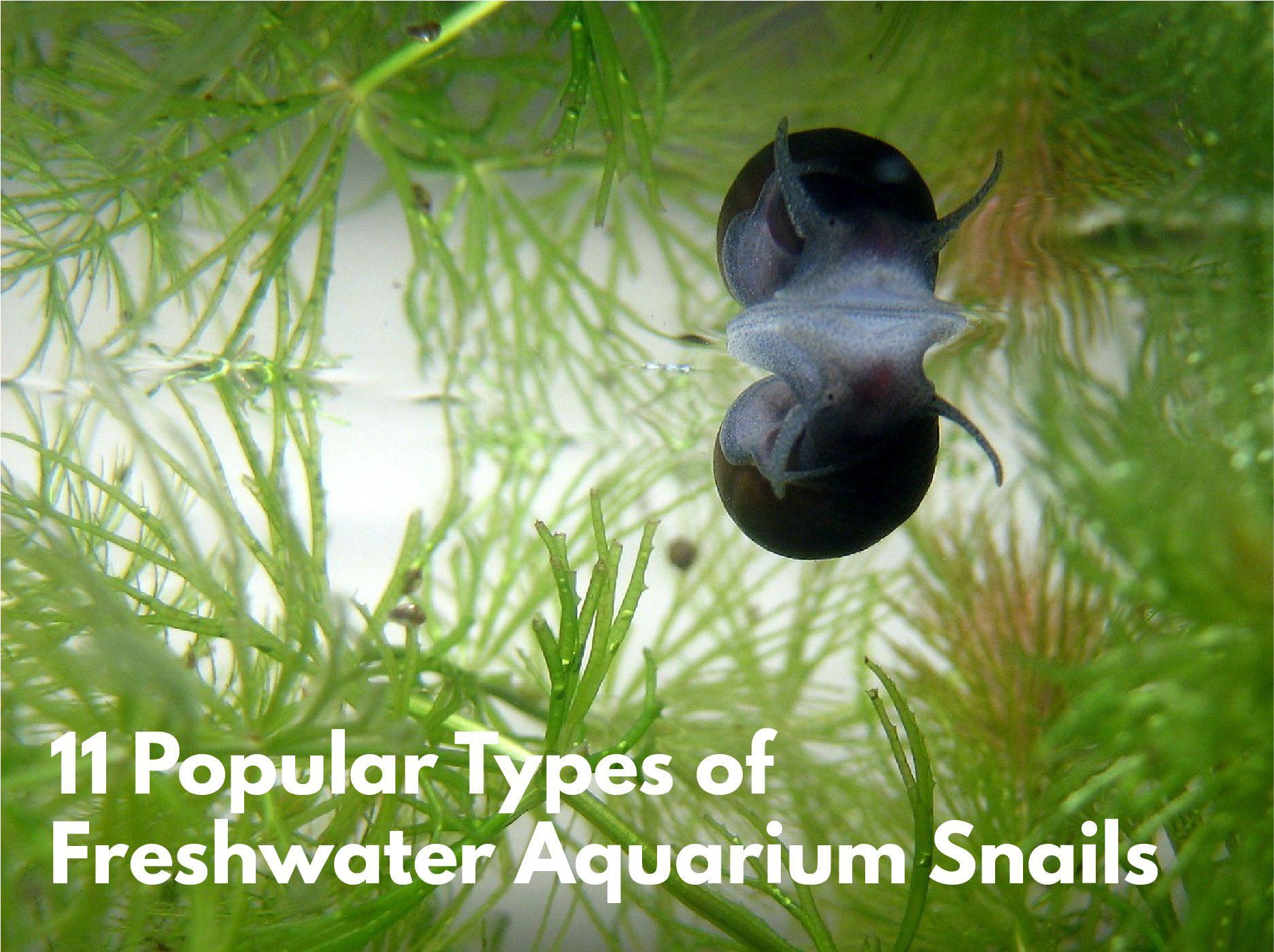 freshwater aquarium snails