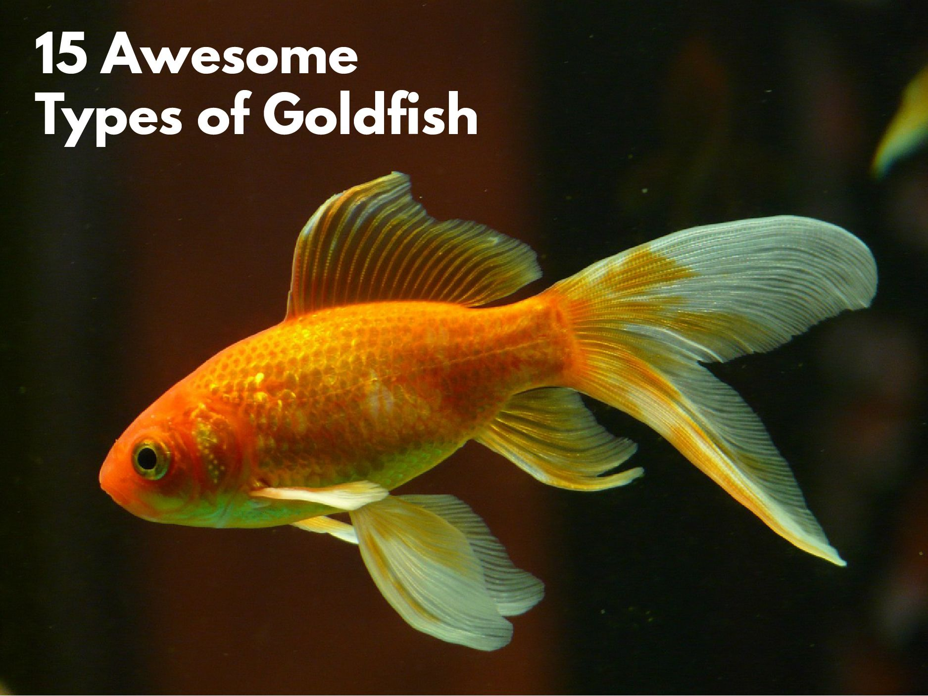 The most popular variety of goldfish