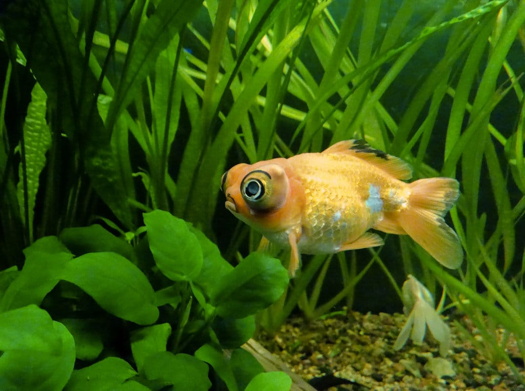 telescopic eye goldfish