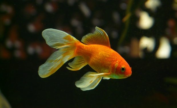 15 Awesome Types of Goldfish: The Complete Goldfish Species Guide