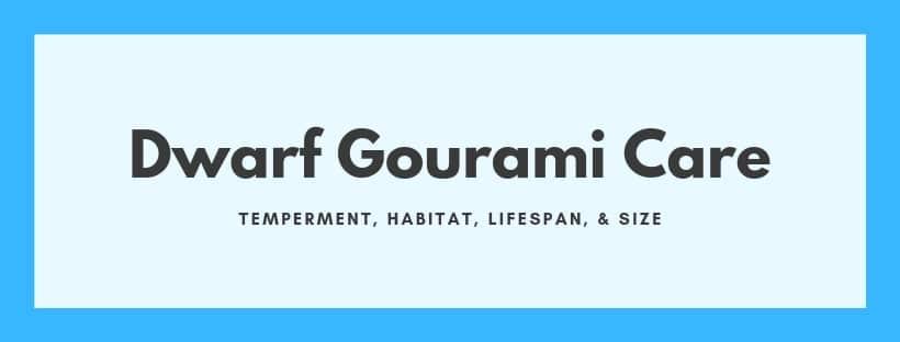 dwarf gourami care