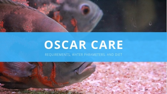 Oscar Fish: The Complete Care, Diet, Setup, & Breeding Guide