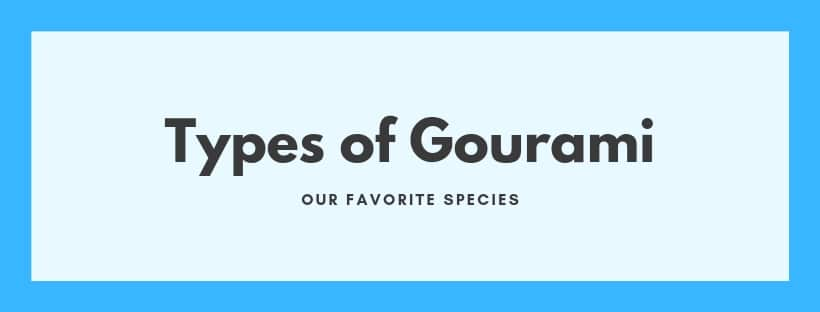 gourami species
