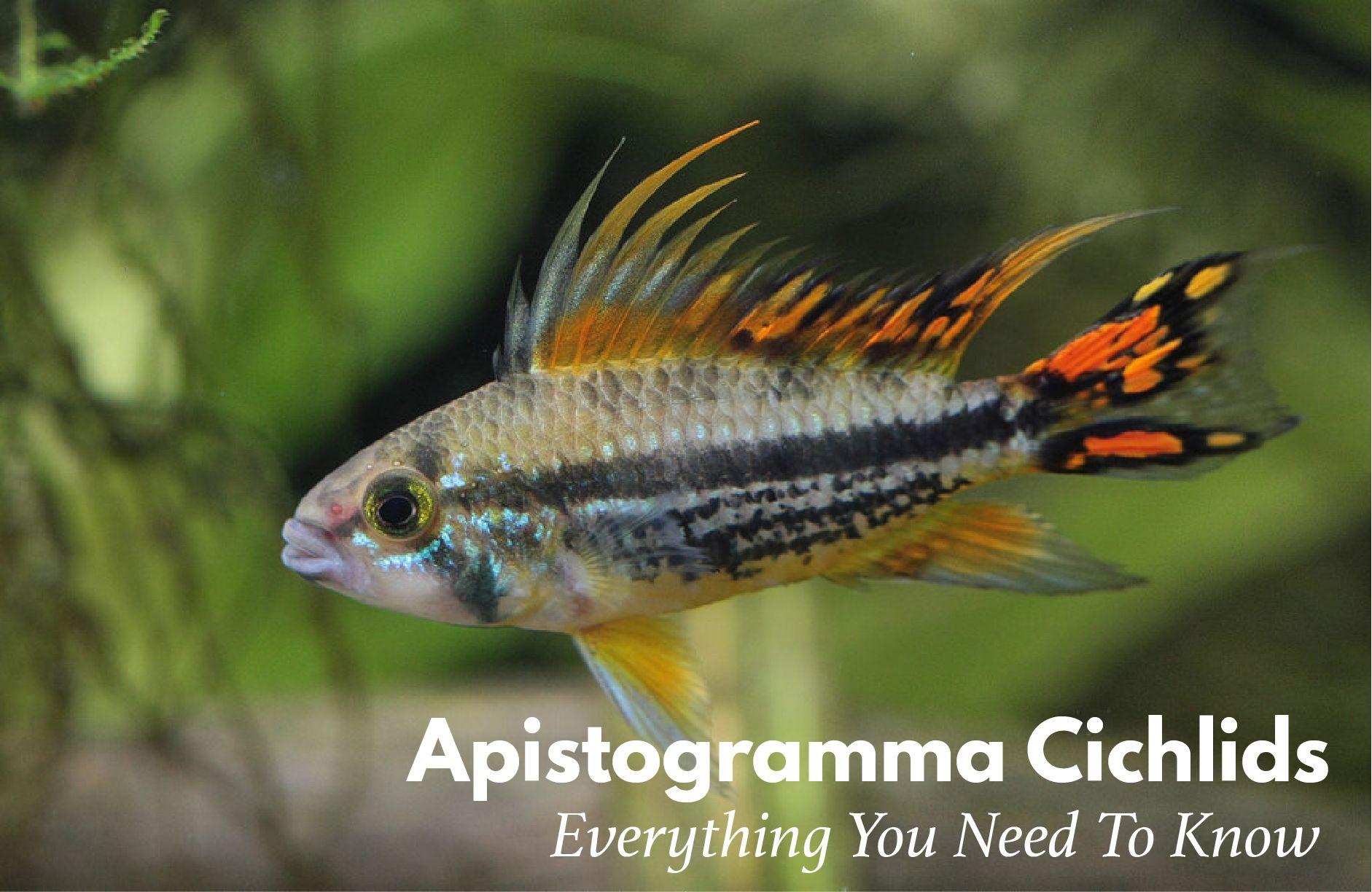 apistogramma
