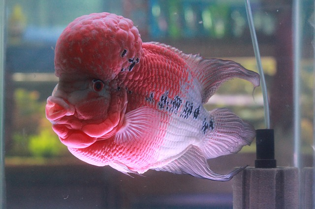 Flowerhorn Fish Keeping: The Ultimate Care, Diet, & Breeding Guide