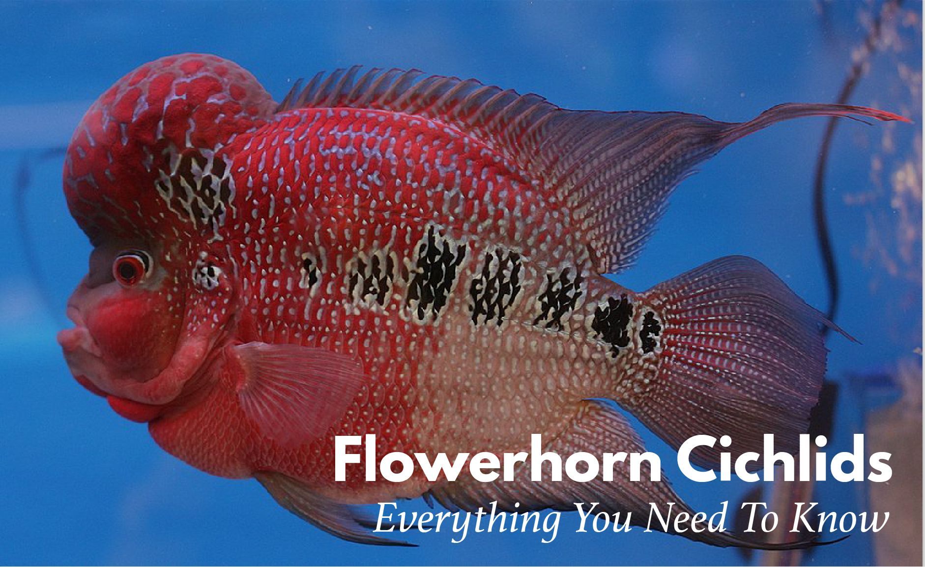 Pleasant Flowerhorn Fish Keeping The Ultimate Care Diet Breeding Download Free Architecture Designs Scobabritishbridgeorg