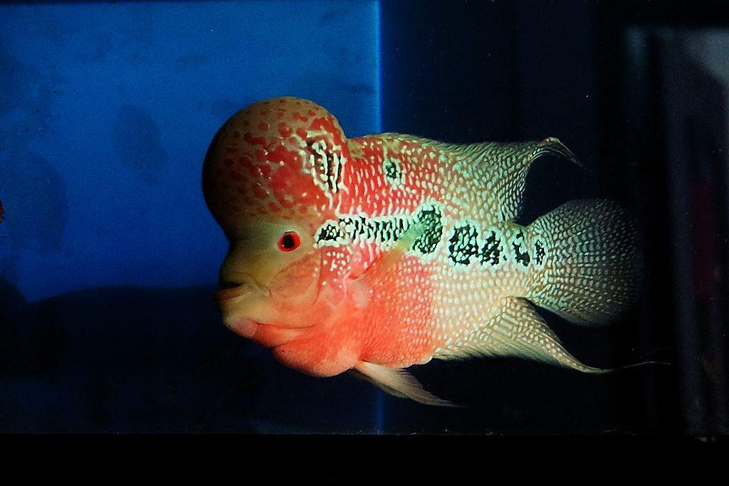 Flowerhorn Fish Keeping: The Ultimate Care, Diet, & Breeding Guide