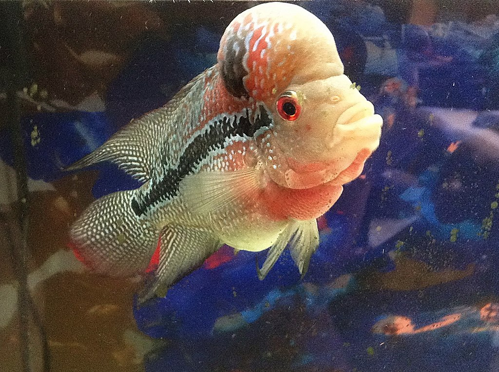 flowerhorn fish care