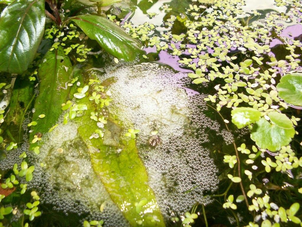 gourami bubble nest