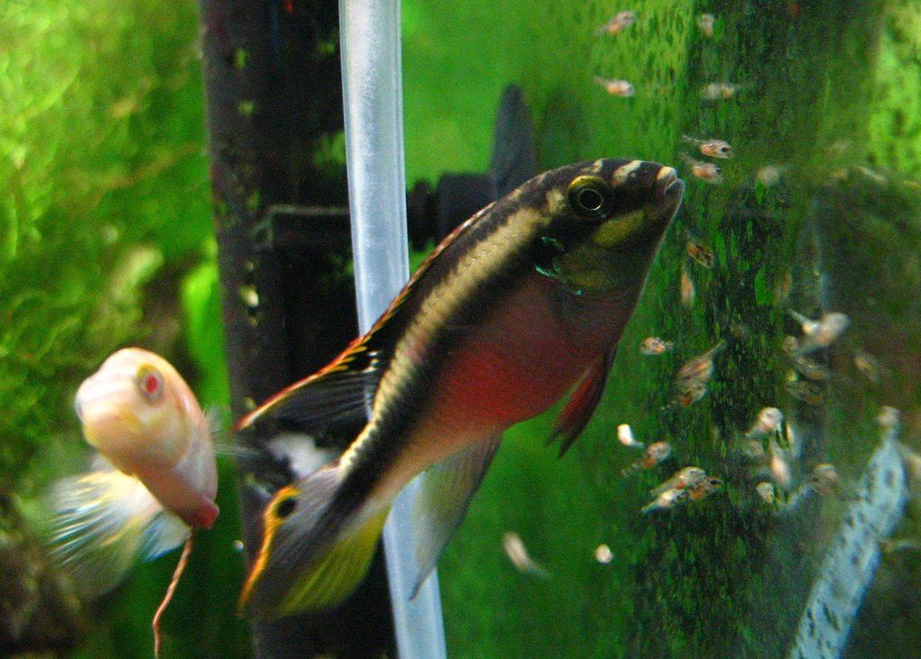 kribensis breeding