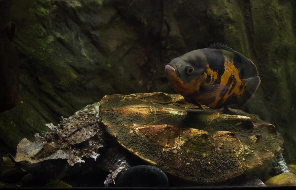 oscar cichlid spawning