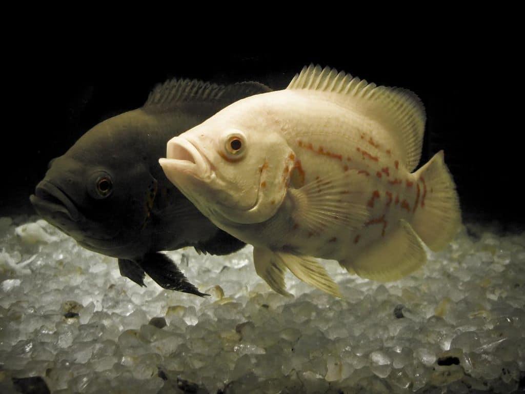 oscar cichlid pair
