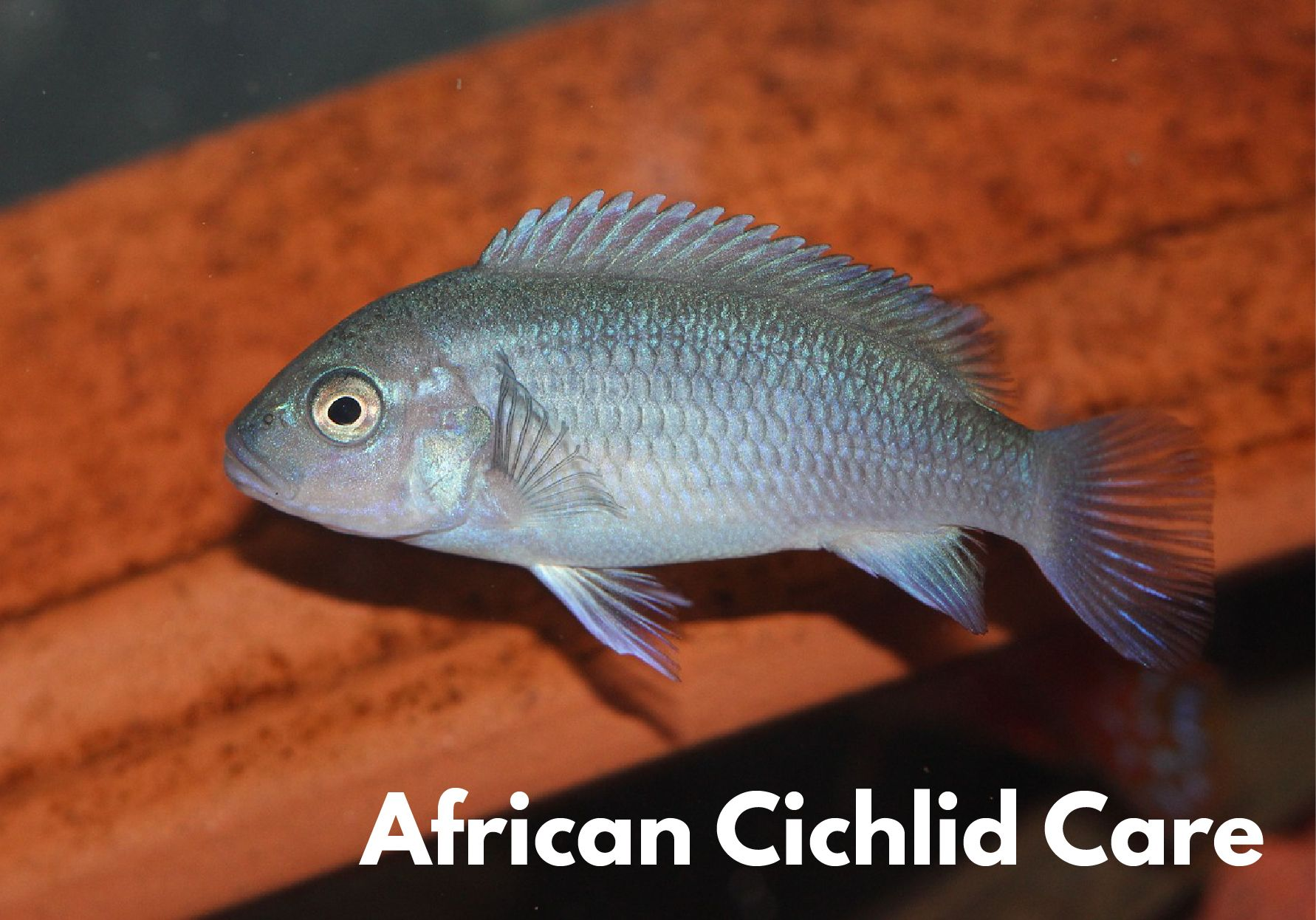 african cichlid care