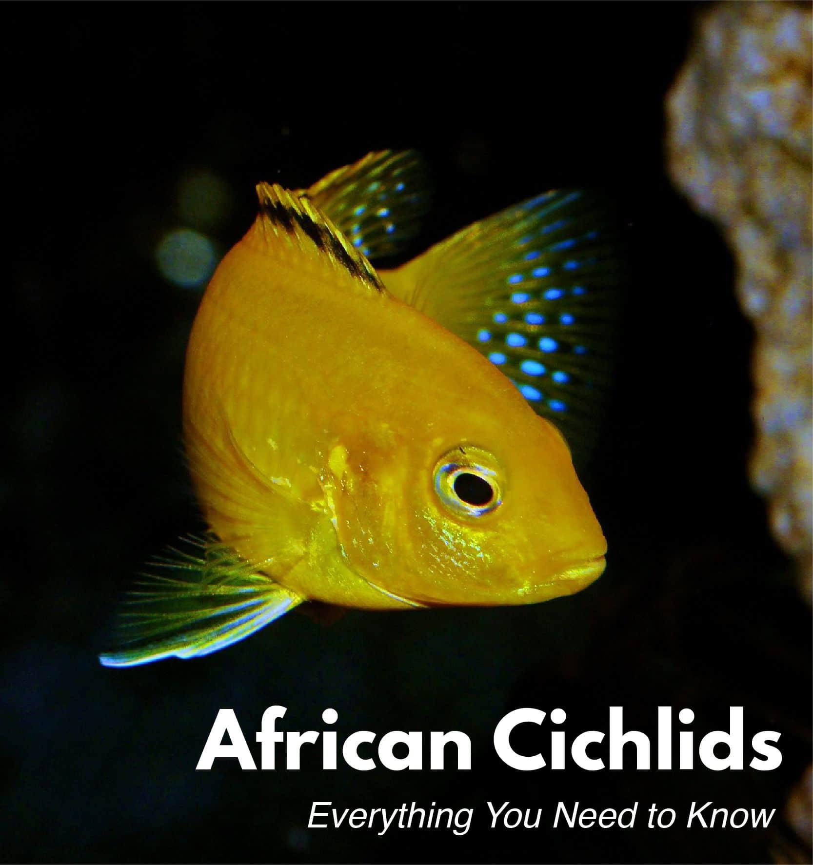 african cichlids