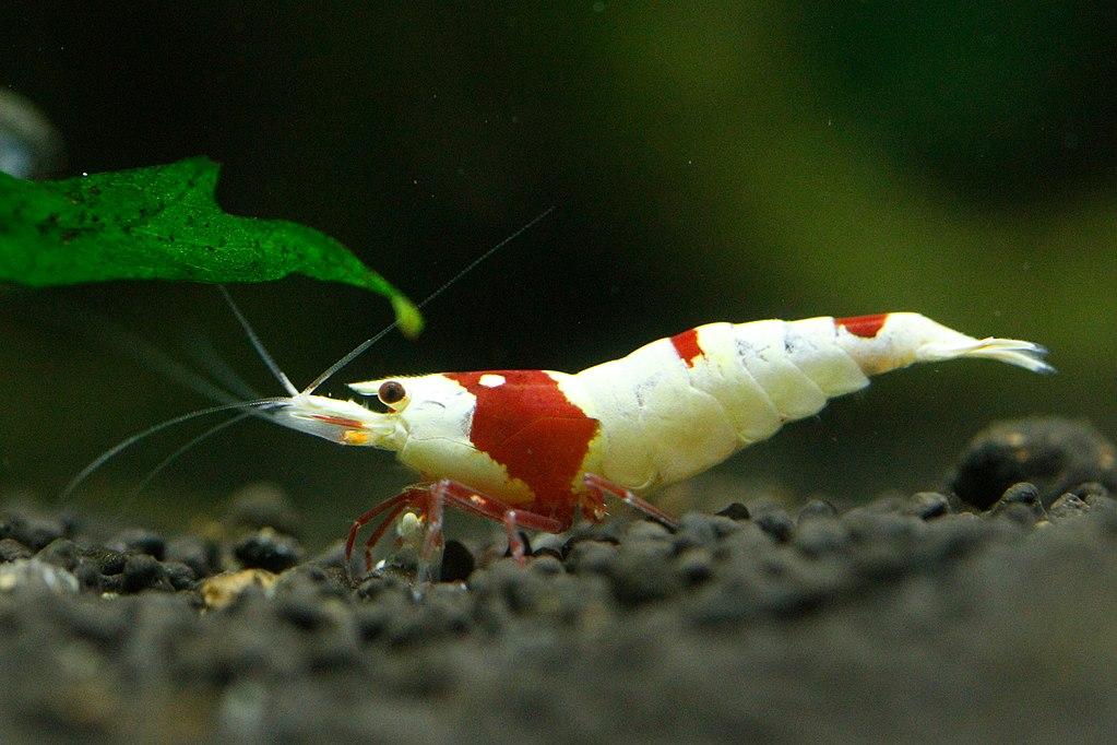 Pinto Shrimp