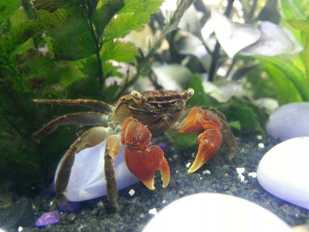 7 Awesome Freshwater Crabs For Your Aquarium With Pictures Bya