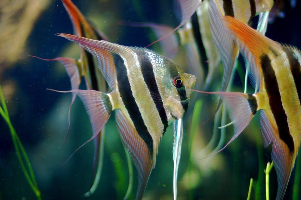 12 Popular Types of Angelfish: Freshwater Angelfish Species