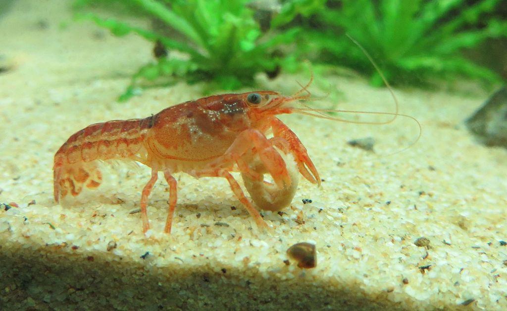 cpo crawfish