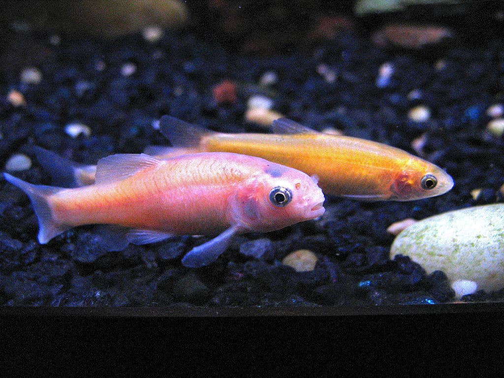 rosy red minnow