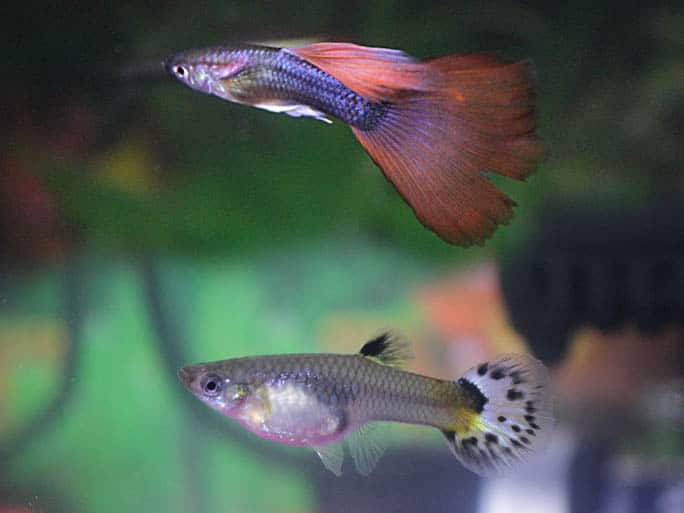 guppy breeding