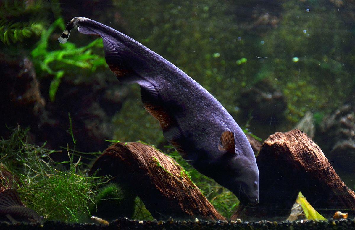 knifefish