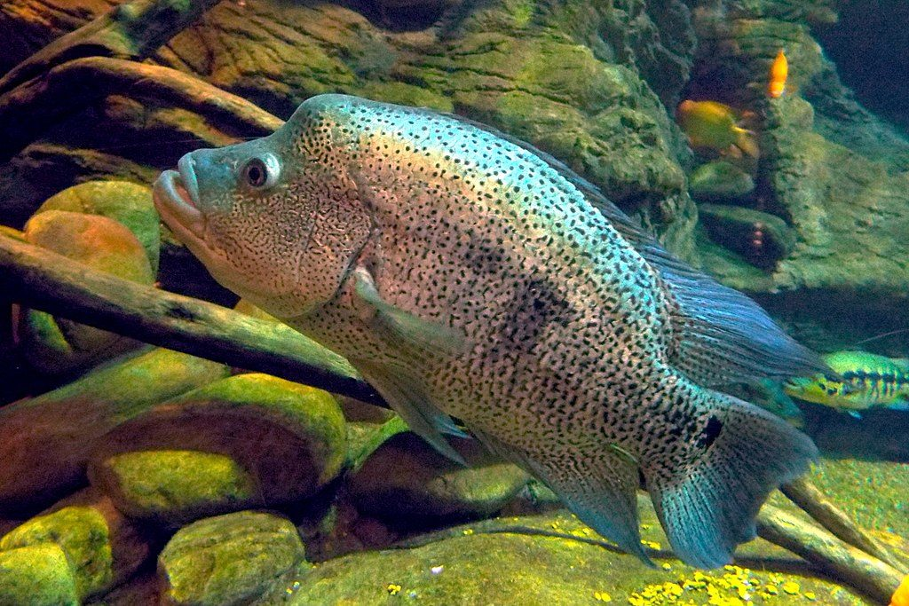 20 Aggressive Freshwater Fish For Predator Tanks Species Guide