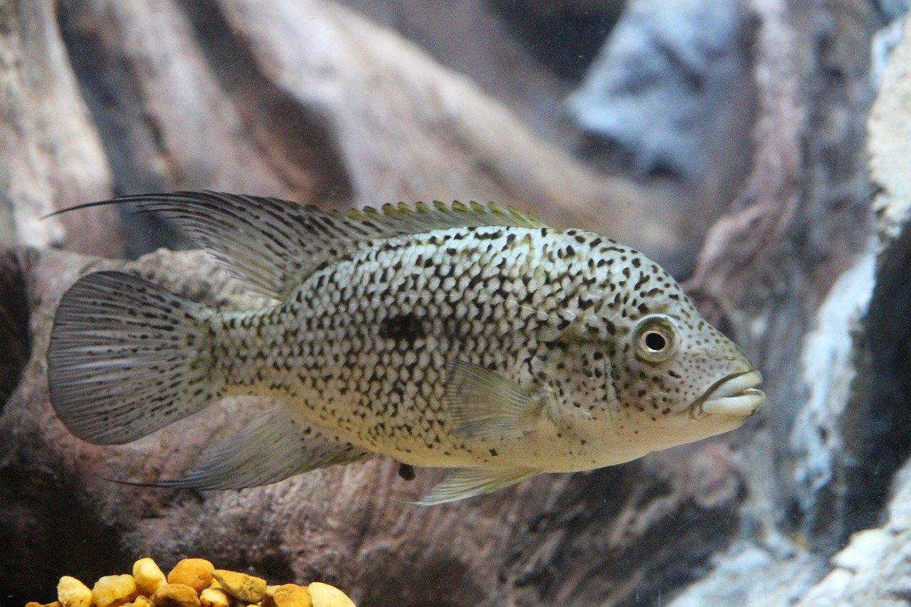 Freshwater Fish For Predator Tanks