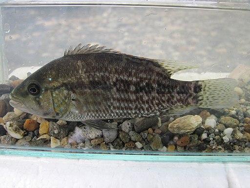 Caquetaia Umbriferus