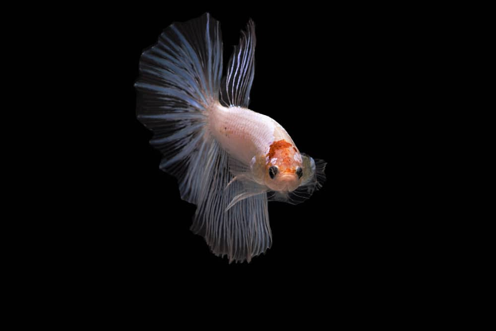 Cellophane Betta