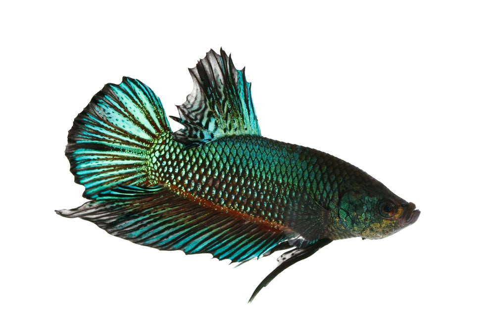 Mahachaiensis betta