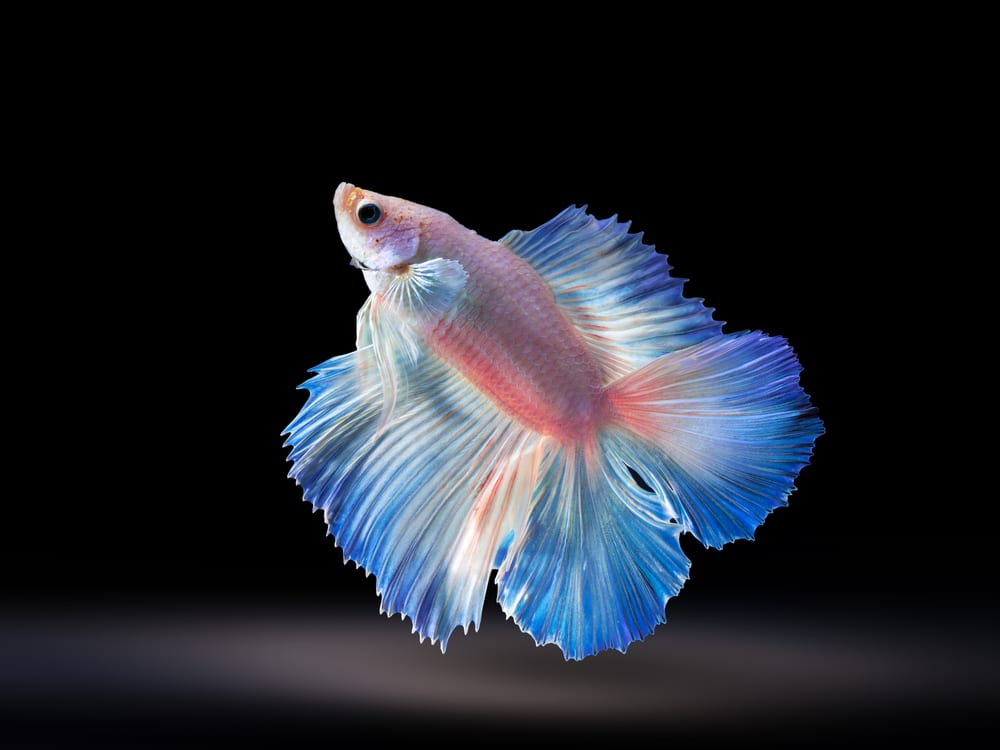 Double tail betta