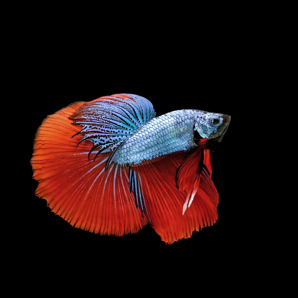 Dragonscale Betta