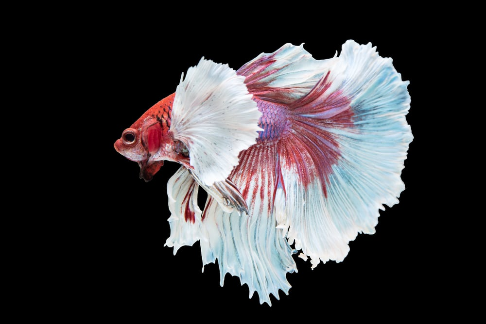 Dumbo Betta Fish