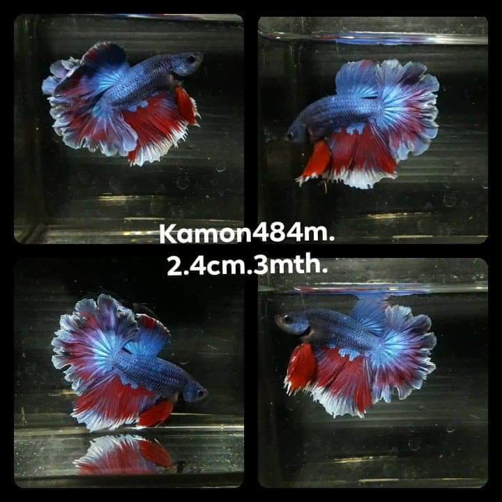 feathertail betta