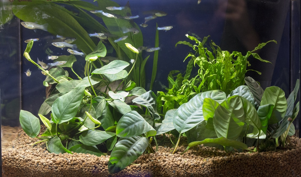 Beautiful planted aquarium with Guppies fishes