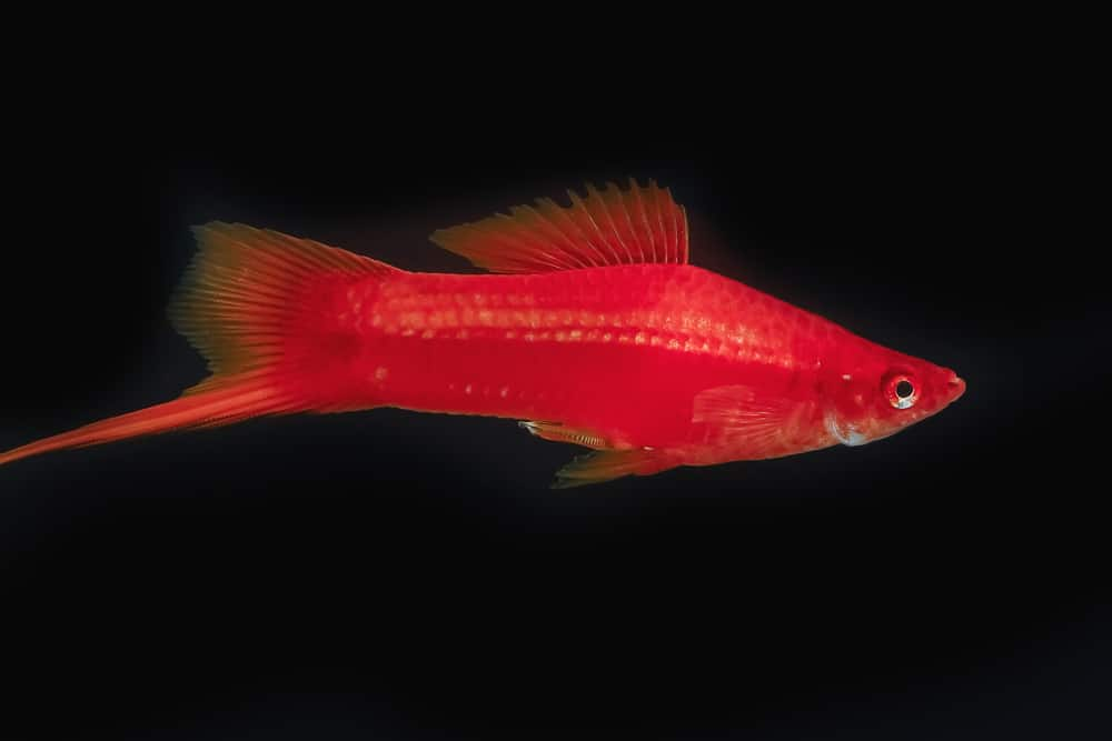 Swordtail red color males in the dark